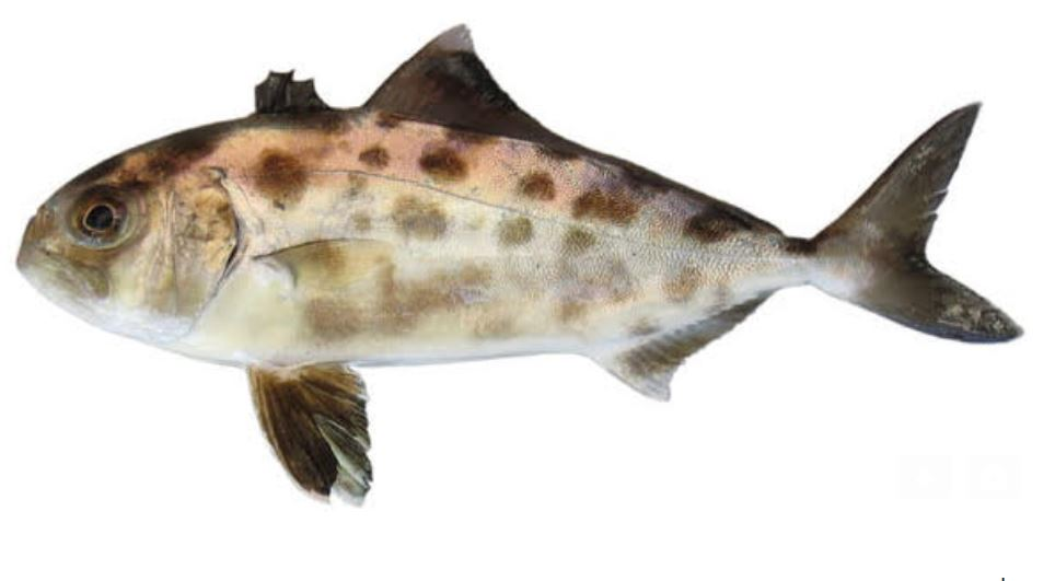 Dafni U0026 39 S Eilat Open Sea Fishes    U05d0 U05ea U05e8 U05d9  U05d3 U05e4 U05e0 U05d9  U05dc U05d3 U05d2 U05d9  U05d0 U05d9 U05dc U05ea